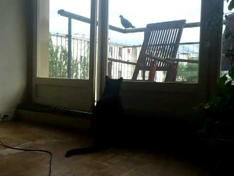 Tichat et le pigeon