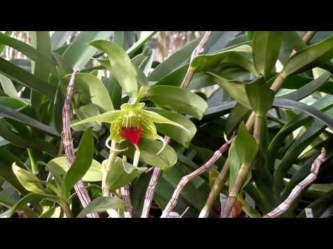 Orchideen Arten: Dendrobium tobaense 2