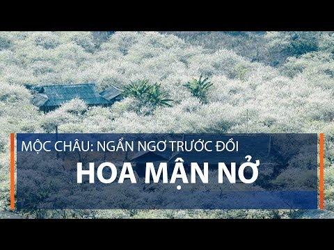 Mộc Châu: Ngẩn ngơ trước đồi hoa mận nở | VTC1 - Thời lượng: 110 giây.