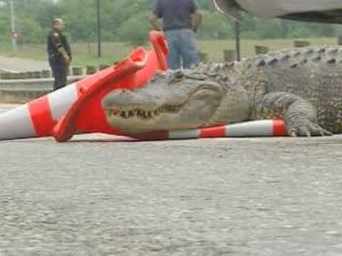 alligator - a alligator ties up traffic on loop 410 in san antonio.