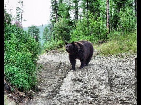 Тракторист ЖЖЁТ...или медведи атакуют!