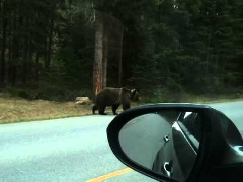 Huge Grizzly Bear Banff National Park
