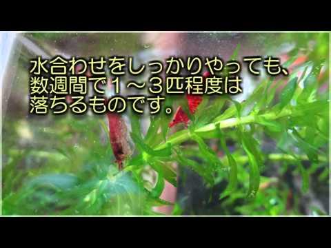 レッドチェリーシュリンプの飼育 (2) 購入編