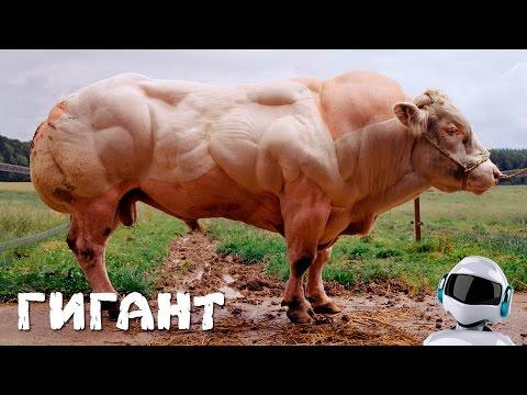 Накачанная корова. Бельгийский монстр