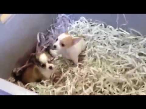 Chihuahua miniatures video 29-8-12 Dogcenter