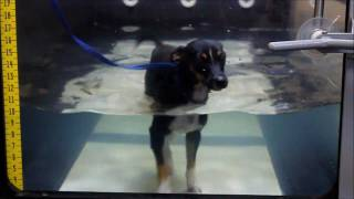 Canine Aquatics and Underwater Treadmill Exercise