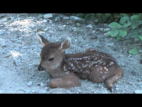 A Baby Deer found by A Logger Sitting In Harm's Way. I Couldn't Believe What Happened Next!his poor little fawn was found sitting right in the middle of a road, in danger's way, so a kindly logger tried to help him back to safety. What happened next is really the stuff my dreams are made of! Watch and you'll understand. If you loved this little cutie, please SHARE with all of your friends! Then, if you're a pet parent, be sure to look below the video.