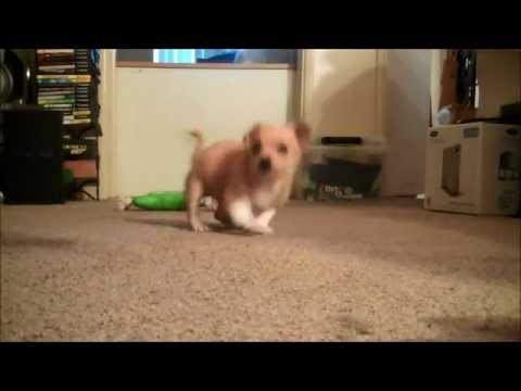 Baby Chihuahua Barks For First Time – PuppySoubi