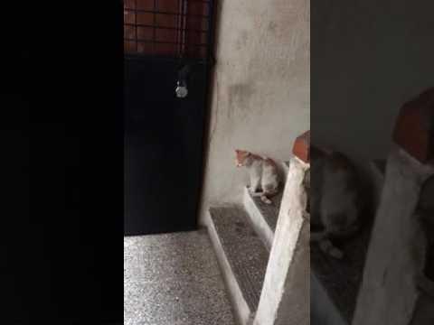 Kun kissa haluaa sisälle se koputtaa oveen