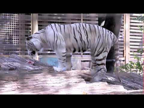 Fehér bengáli tigris jött a győri állatkertbe