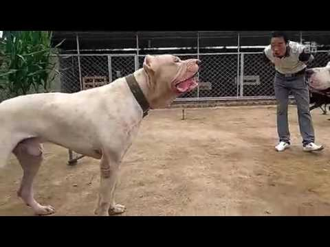 Pitbull Vs Dogo Argentino!