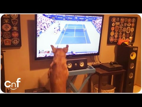 golden retriever loves us open tennis