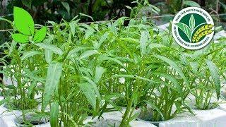 Thành phố Hồ Chí Minh: Trồng rau muống nước hữu cơ gặt hái thành quả lớn