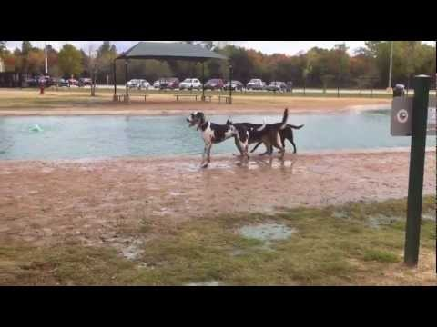 Video German Shepherd and Great Dane playing at the dog park download in MP3, 3GP, MP4, WEBM, AVI, FLV January 2017