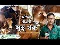 Download Lagu Cow Farm  গরুর হাট থেকে বাছুর গরু কিনে ষাড় গরু। দেখুন অভিজ্ঞ খামারীর গরুর খামার। Mp3 Free