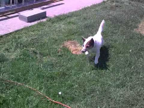 Little Dog Barking At Lawn Mower