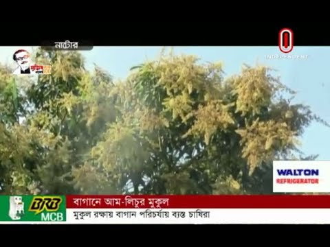The gardens are full of mango and litchi blossom in North Bengal (27-03-20) Courtesy: Independent TV