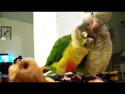 ?Bird lovers must watch! Green Cheek and Quaker Parrot Preening eachother, so precious! ?