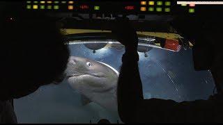 Badacze wpływają między żerujące rekiny