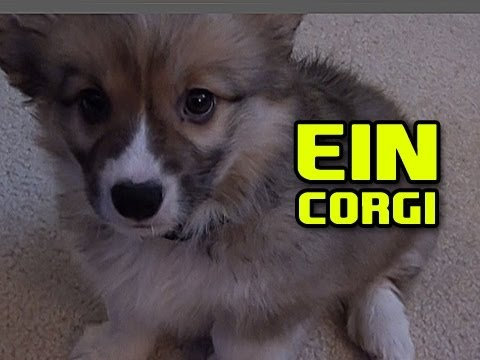 Ein The Puppy CORGI ft. Going up the steps attempt Video