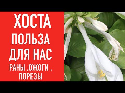 ХОСТА ИЗЛЕЧИТ ВАШИ БОЛИ - DomaVideo.Ru