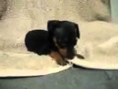 Too Cute Min Pin Pup, Cinder