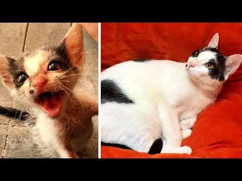 Mężczyzna podnosi małą kotkę płaczącą z głodu! 3 miesiące później jej wygląd zaskakuje wszystkich!