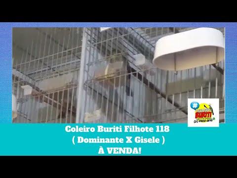 Galeria de Vídeos Coleiro Buriti Filhote 118