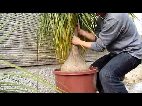 How to repot Beaucarnea recurvata (6/8) Spring 2011