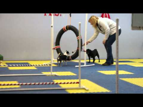 Chihuahua Agility Lesson