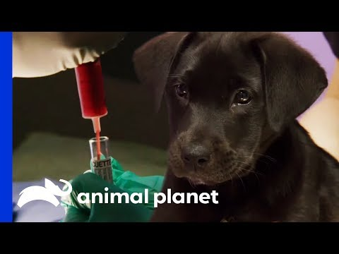 Puppy's Blood-Colored Urine Has Vets and Owner Worried | The Vet Life