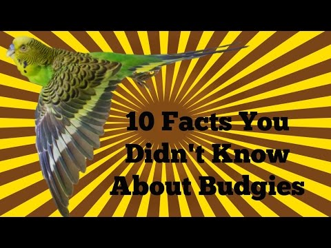 10 Facts You Didn't Know about Budgies!