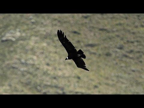 34 tote Andenkondore in Argentinien offenbar vergif ...