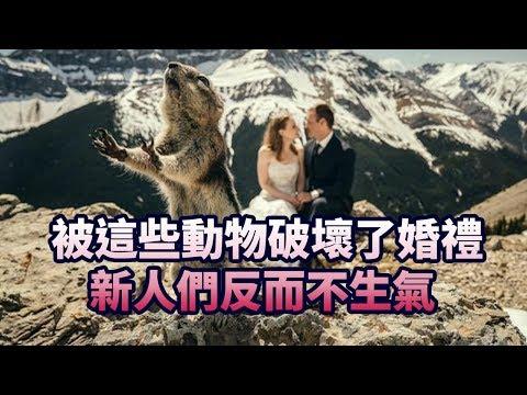 被這些動物破壞了婚禮 新人們反而不生氣