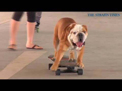 l'incredibile bulldog inglese!