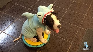 Happy #SharkWeek from #MakoTheShark!! PitBull Puppy on a #Roomba We were thinking to foster this pup… but l guess we ...