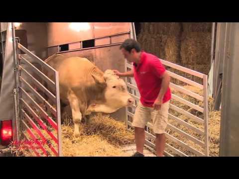 Спасение быка, который всю жизнь простоял на месте
