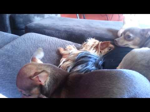 How to stop Chihuahua and Yorkie from barking!