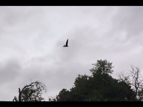 VIDEO: Capturan video de pterodáctilo sobrevolando Idaho