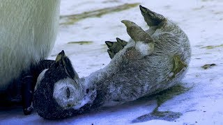 Video Emperor Penguin Mourns the Death of Chick | BBC Earth MP3, 3GP, MP4, WEBM, AVI, FLV Agustus 2019