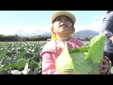 笠間保育園児キャベツ収穫
