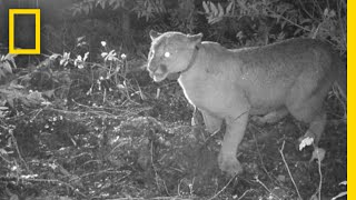 Listen: Cougars Are Terrified of Human Chatter | National Geographic