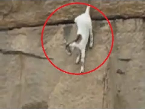 Mountain Goat Almost Falls!! (Rare footage)