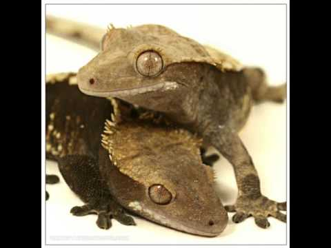 Crested Geckos: JB is PO'd