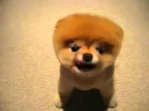 Самая смешная порода собак на свете