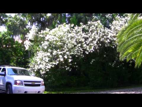 *White Oleander Tree*