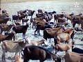 الماعز المغرب سلالة بني عروس