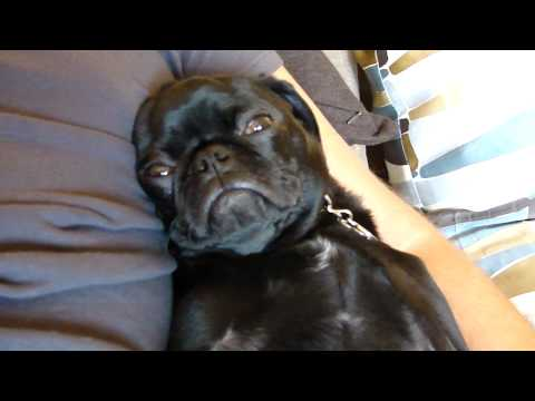 Funny: Darth Vader Pug! Black pug puppy snoring very loudly!