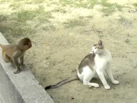 Baby Monkey Annoys Cat with His Adorable Antics