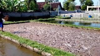 Video Ikan lele kolam terpal MP3, 3GP, MP4, WEBM, AVI, FLV September 2018